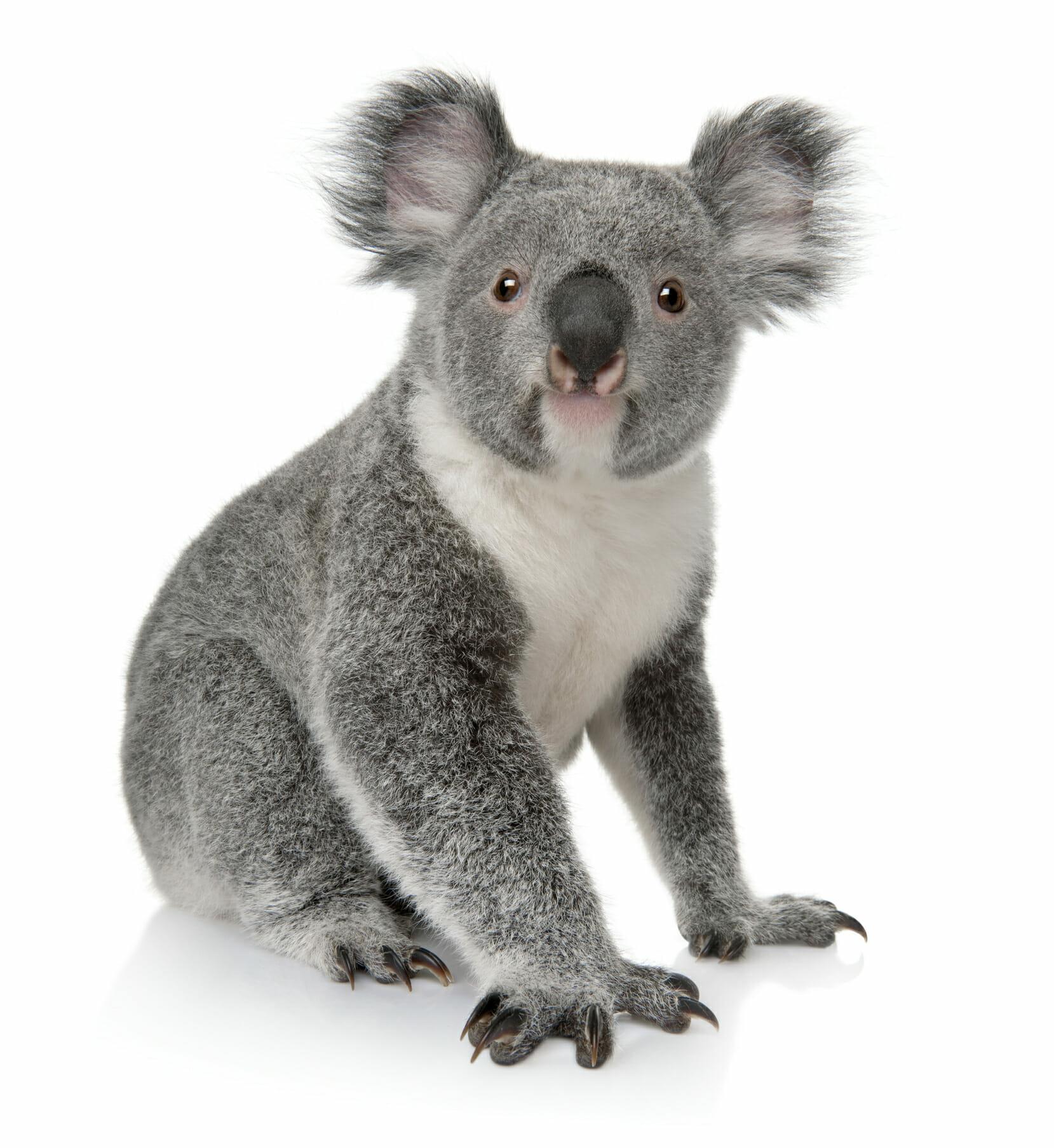 http://www.dreamstime.com/stock-images-young-koala-phascolarctos-cinereus-14-months-old-image13665394